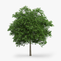 japanese maple 5 8m 3d model