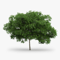 3d model japanese maple 5 2m