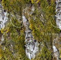 Mossy tree bark 69