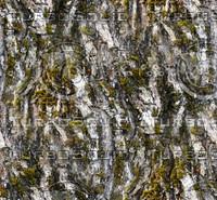 Mossy tree bark 71