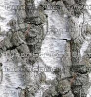 Birch tree bark 2