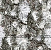 Birch tree bark 3