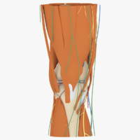 3d human knee anatomy muscles model