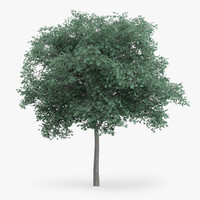 northern red oak 7 3d model