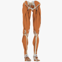 3d model human leg anatomy muscles