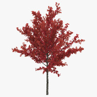 Young Tree Red Maple Autumn