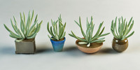 denecio scaposus set succulent