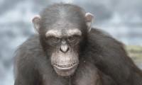 3d chimpanzee -