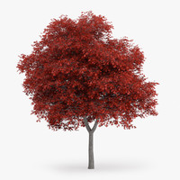 northern red oak 8 3d c4d