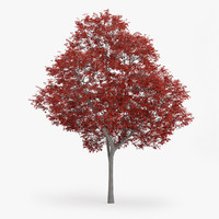 3d c4d northern red oak 13