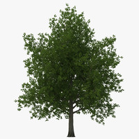 3d red maple tree summer
