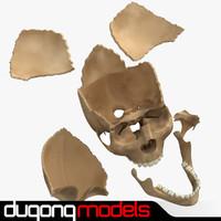 3d model dugm01 human skull separated