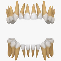 primary teeth 3d model