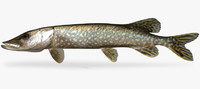 Esox lucius Northern Pike
