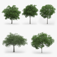 3d model austrian oak trees 5