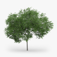 austrian oak 5m max