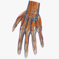3ds max hand wrist anatomy muscles
