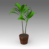 Cordyline Fruticosa Plant_015