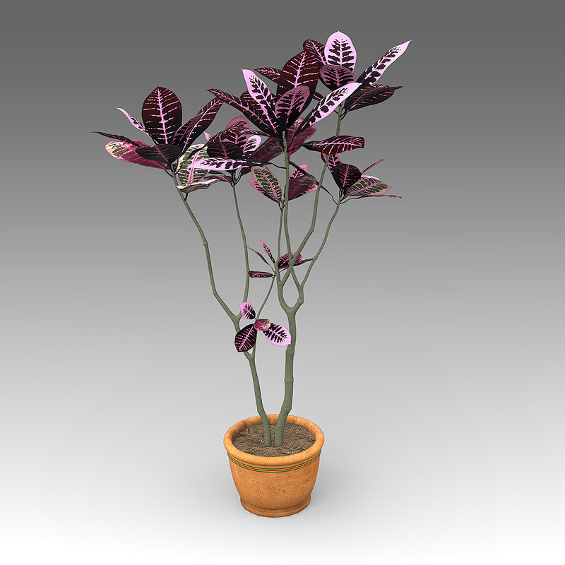 House_Plants_hpa_017_Codiaeum_Pictum_01.jpg