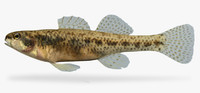 etheostoma proeliare cypress darter ma