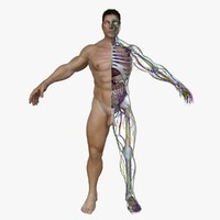 male body anatomy circulatory 3d fbx