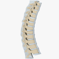 human thoracic spine 3d model