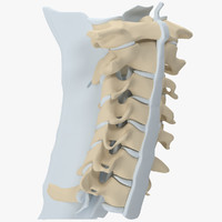 3ds human cervical spine