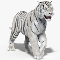 tiger white fur animation 3d model