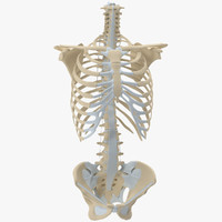 3d model human torso skeleton vertebrae