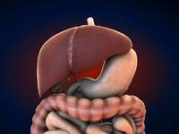 3dsmax human digestive es