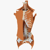 male torso anatomy muscles 3d model