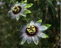 3d passion fruit flower
