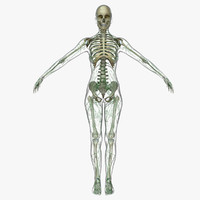 3ds max lymphatic skeleton female
