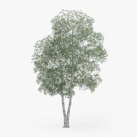 silver birch 17 2m 3d ma