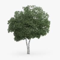 3d silver birch 9 2m