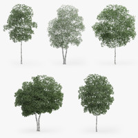 silver birch trees 3d max