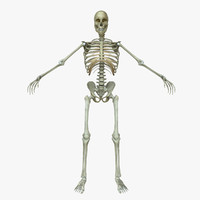 3d male human skeleton bone model