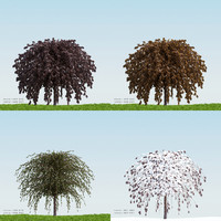 3d model season fagus sylvatica atropurpurea