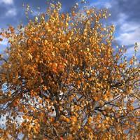 3d model leaf season tree