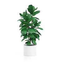 maya tall ficus tree pot