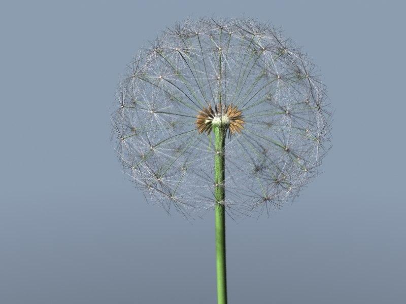 dandelion_1.jpg