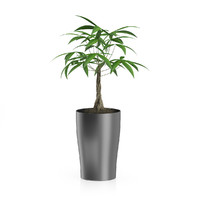 max money tree dark pot