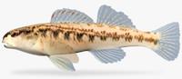 etheostoma cervus chickasaw darter fbx