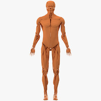 3ds muscular muscles abdomen
