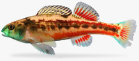 Etheostoma etnieri   Cherry Darter  Male