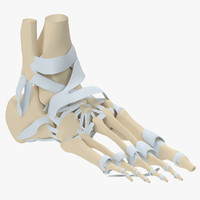 3d model human foot skeleton