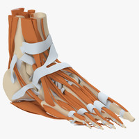 human foot anatomy 3d max