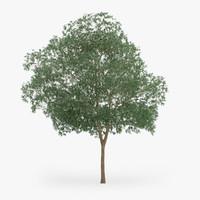 3d model of yellow birch 12 7m