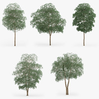 3d yellow birch trees