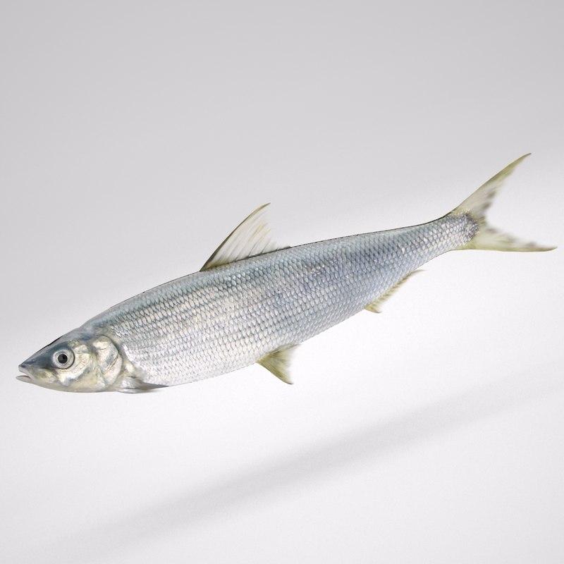 Fish_Coregonus Lavaretus_01.jpg